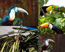 巨嘴鳥寫真攝影高清圖片