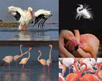 湖水火烈鳥寫真攝影高清圖片