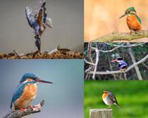 漂亮的翠鳥寫真攝影高清圖片