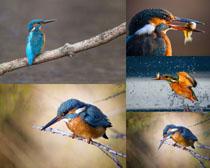 樹枝上的翠鳥攝影高清圖片