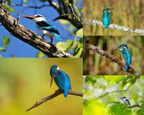 枝頭翠鳥寫真拍攝高清圖片