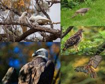 老鷹鳥類寫真拍攝高清圖片