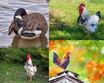 公雞與鴨子寫真攝影高清圖片