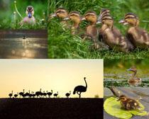 一群可愛的小鴨子攝影高清圖片