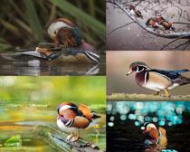 漂亮的色彩小鴨寫真拍攝高清圖片