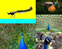 漂亮的孔雀寫真攝影高清圖片