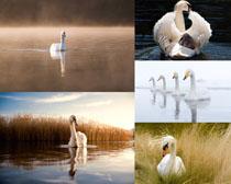 美麗湖水白色天鵝攝影高清圖片