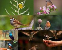 春天麻雀寫真拍攝高清圖片