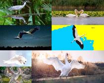 湖邊鵜鶘寫真攝影高清圖片