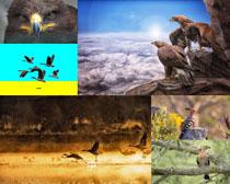 戴勝鳥與老鷹動物攝影高清圖片
