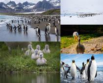 企鵝與小鴨子動物攝影高清圖片