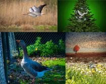 蒼鷺與鵝動物攝影高清圖片