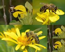 小蜜蜂與花朵寫真拍攝高清圖片