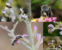 蜜蜂采蜜攝影高清圖片