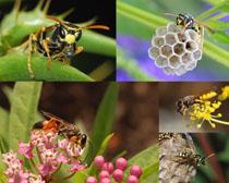勤勞的小蜜蜂寫真攝影高清圖片