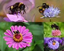 花朵上的蜜蜂拍攝高清圖片
