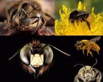 蜜蜂寫真高清圖片