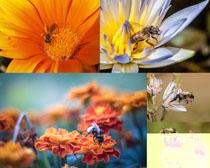 春天花朵小蜜蜂采蜜攝影高清圖片