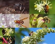 采蜜中的蜜蜂攝影高清圖片