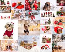 可愛圣誕狗動物寫真拍攝高清圖片