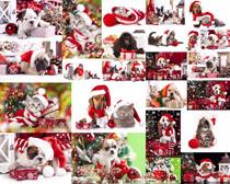 貓咪狗狗圣誕節攝影高清圖片
