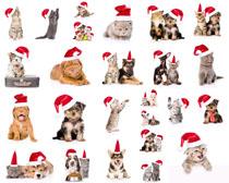 戴圣誕帽子可愛貓咪攝影高清圖片