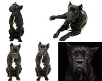 欧美小黑狗写真拍摄高清图片