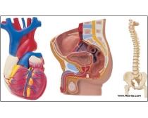 54张高清人体器官图片素材