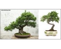 日本盆景树高清图片素材