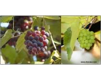31张高清葡萄园图片素材