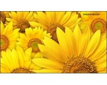金色葵花高清图片素材