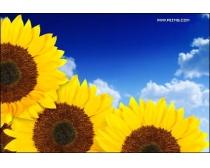 蓝天向日葵高清图片