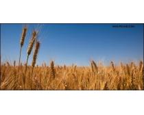 麦穗麦田风光高清图片