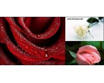 14款玫瑰花高清图片素材