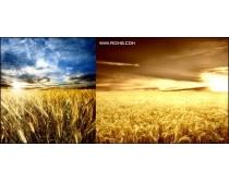 6张高清麦穗麦田图片