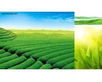 绿色植物与茶园风光