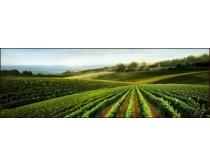 葡萄庄园风景素材