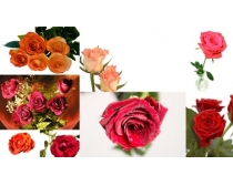 8張玫瑰花高清圖片