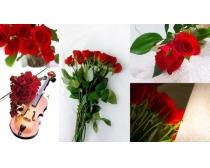 5张玫瑰花高清图片