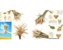 5款麦穗高清图片