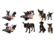 法国斗牛犬图片素材