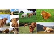 奶牛图片素材