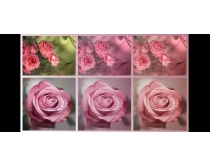玫瑰花照片淡淡黄色调调色动作