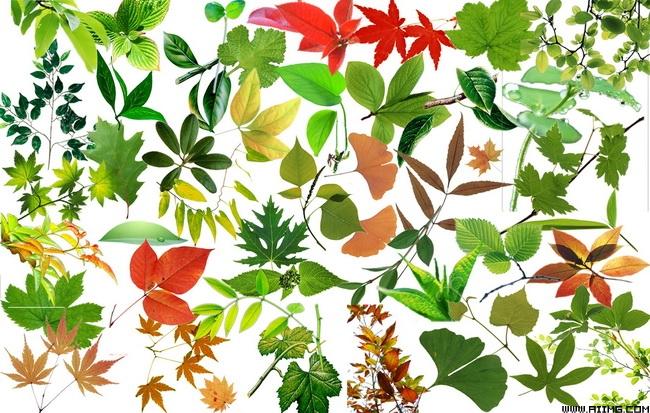 各种树叶psd分层素材集图片
