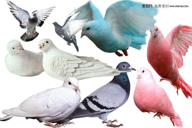 鸽子图片素材集 - 爱图网设计图片素材下载