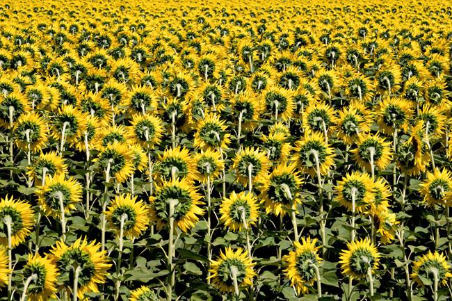 成片的向日葵风景图片