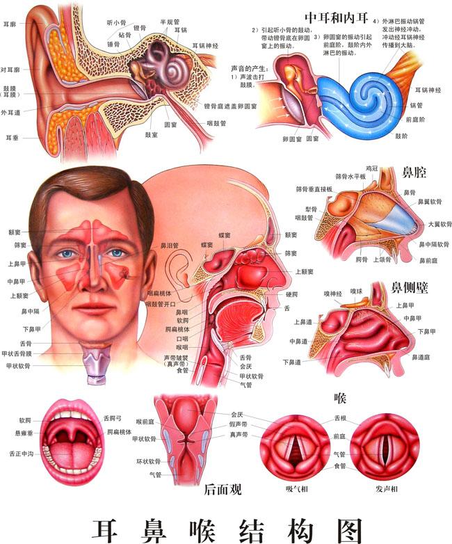 耳鼻喉解剖结构图矢量素材